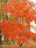 Japanese maple.jpg