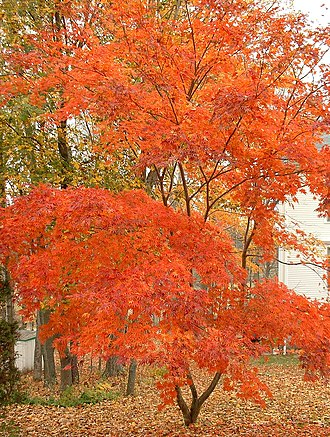 Orange (colour) - Image: Japanese maple