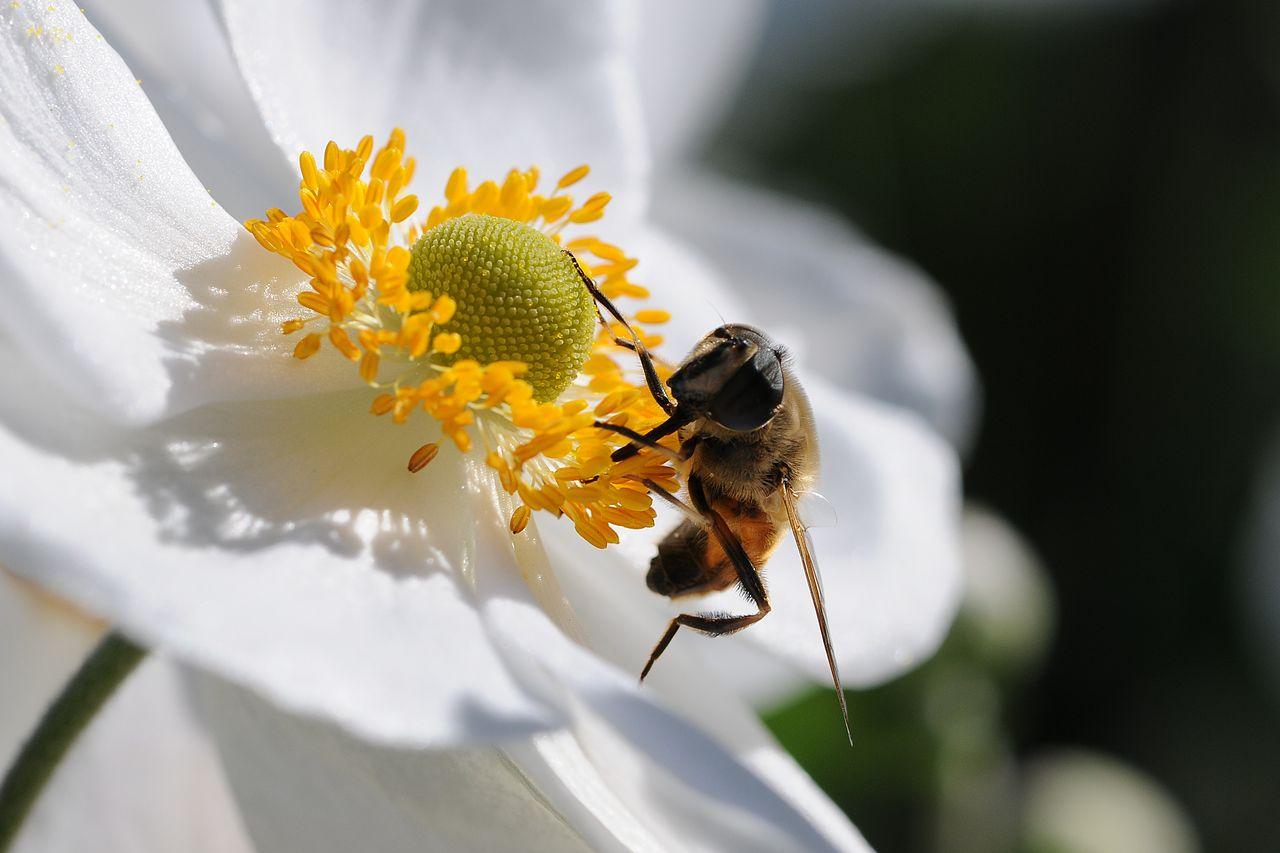 datei japanische herbst anemone anemone hupehensis var. Black Bedroom Furniture Sets. Home Design Ideas