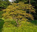 Japanischer Ahorn Queen-Auguste-Victoria-Park (Umkirch) jm30407.jpg