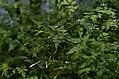 Jasminum grandiflorum from Tirunelveli JEG1721.jpg