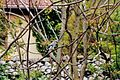 Jay (garrulus glandarus) in ailant grove.jpg