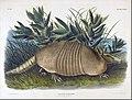 John Woodhouse Audubon - Nine-Banded Armadillo (Dasypus Peba) - Google Art ProjectFXD.jpg