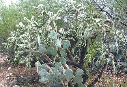 An Opuntia in front of a jumping cholla (Cylindropuntia fulgida) Jumping Cholla-JRO.jpg