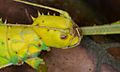 Jungle Nymph (Heteropteryx dilatata) (8754361573).jpg