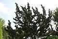Juniperus chinensis Torulosa 3zz.jpg