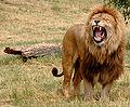 Just one lion.jpg