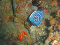 Juv Emperor angelfish at Pao reef dsc04580.jpg
