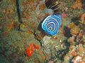 Juv Emperor angelfish at Pao reef dsc04580.jpg
