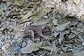 Juvenile sciurus carolinensis 2.jpg