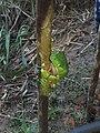 Kambo Frog - KambôDanmark.jpg