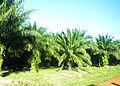 Kampong Seila oil palm trees.jpg