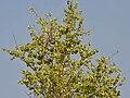 Kanju (Holoptelea integrifolia) with fruits W IMG 5870.jpg