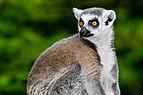 Katta-Zoo-Muenster.jpg