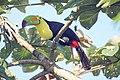 Keel-billed Toucan (16377811038).jpg