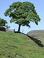 Kinder Coldwell Clough Tree 0103.JPG