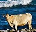 King Island Beef.jpg