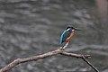 Kingfisher in winter - panoramio.jpg