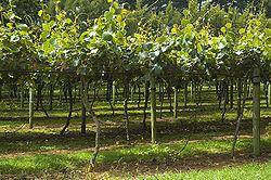 Kiwi Fruit orchard, The North Island, New Zealand