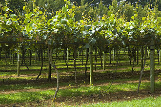 Kiwifruit industry in New Zealand - A kiwifruit orchard in the North Island of New Zealand
