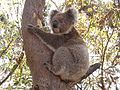 Koala clinging onto a Eucalyptus tree.jpg