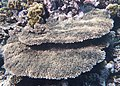 Korallen im Roten Meer..DSCF3870OB.jpg