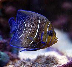 Pomacanthus semicirculatus - Juvenile Koran angelfish in a home aquarium