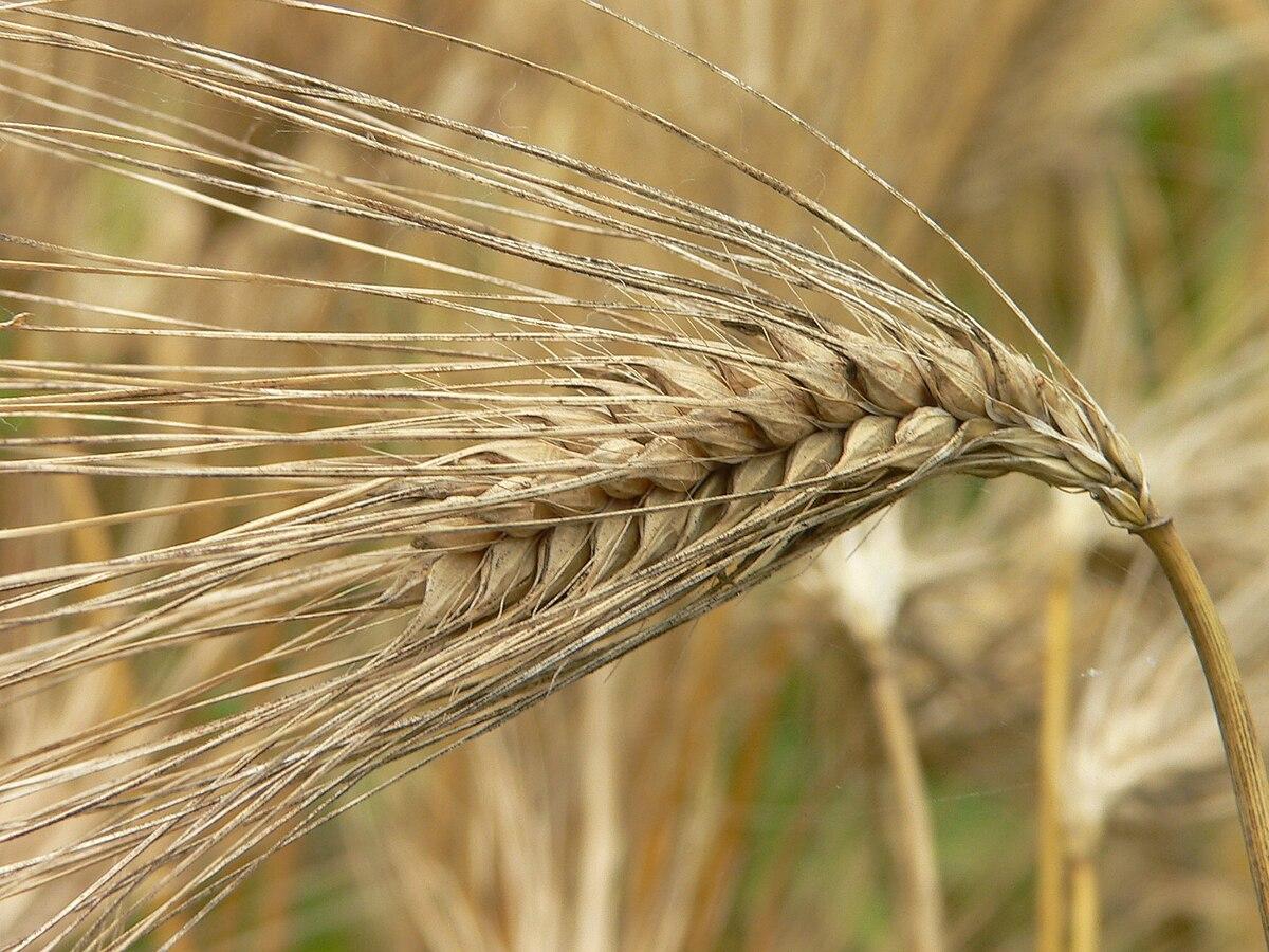 「大麦」の画像検索結果
