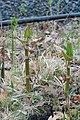 Korina 2017-04-04 Fallopia japonica 1.jpg