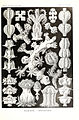 Kunstformen der Natur (Tafel 39) (6197319539).jpg
