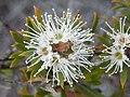 Kunzea rupestris flower yeomans.jpg