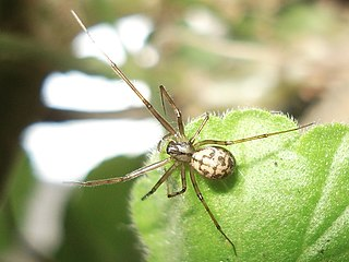 <i>Labulla</i> Genus of spiders