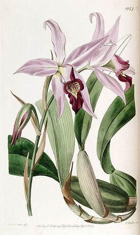 Laelia anceps (as Laelia anceps var. barkeriana) - Edwards vol 23 pl 1947 (1837).jpg