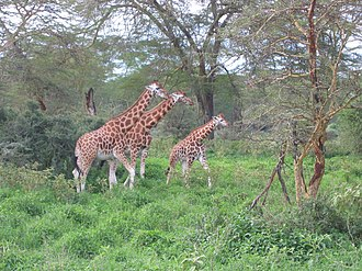 Rothschild's giraffe - Rothschild's giraffes at Lake Nakuru National Park in Kenya
