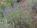 Lake Tahoe lupine, Lupinus argenteus var. meionanthus (15750597363).jpg