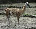 Lama-guanicoe.jpg