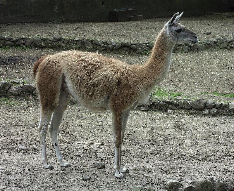 http://upload.wikimedia.org/wikipedia/commons/thumb/4/40/Lama-guanicoe.jpg/800px-Lama-guanicoe.jpg