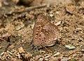 Large Oakblue Arhopala amantes Mumbai IMG 3562 (4).JPG