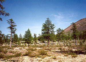 Larix gmelinii - Dahurian larch forest, Kolyma region, arctic northeast Siberia