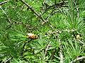 Larix laricina Volo Bog 2.jpg