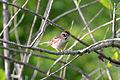 Lark Sparrow (Chondestes grammacus) (14187424167).jpg