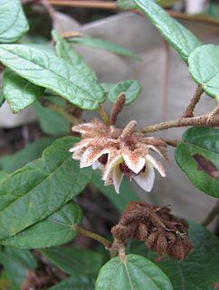 <i>Lasiopetalum macrophyllum</i> species of plant