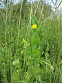 Lathyrus aphaca sl12.jpg