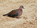 Laughing Dove (Streptopelia senegalensis) (6040877431).jpg