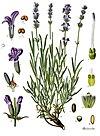 Lavandula angustifolia - Köhler–s Medizinal-Pflanzen-087.jpg