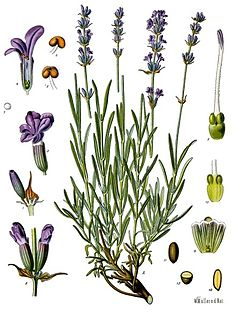 <i>Lavandula angustifolia</i> Species of plant
