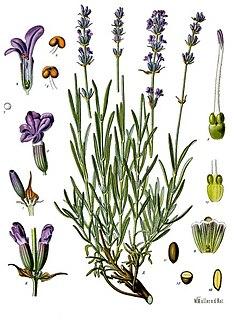 <i>Lavandula angustifolia</i> species of plant