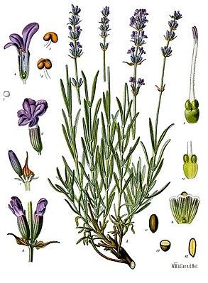 Etwas Neues genug Echter Lavendel – Wikipedia &XW_39