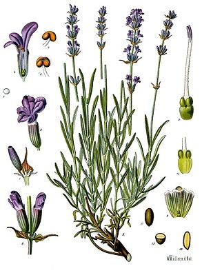 Hervorragend Echter Lavendel – Wikipedia UZ16
