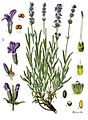88px-Lavandula_angustifolia_-_K%C3%B6hle